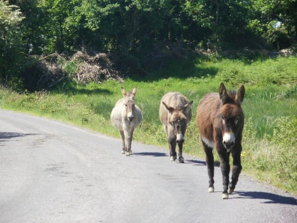 Whiddy Island Donkeys