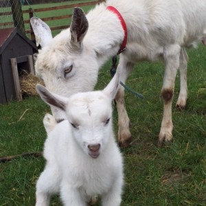 Goats at Pod Páirc