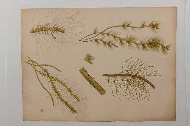 Ellen Hutchins Exhibition: Botanical Art @ Organico Cafe | Bantry | County Cork | Ireland